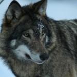 Wolf Photo:Skansen